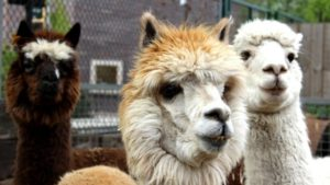 Due to Storm Ciara Integrate have been supporting Vauxhall City Farm appeal to rebuild the alpacas home