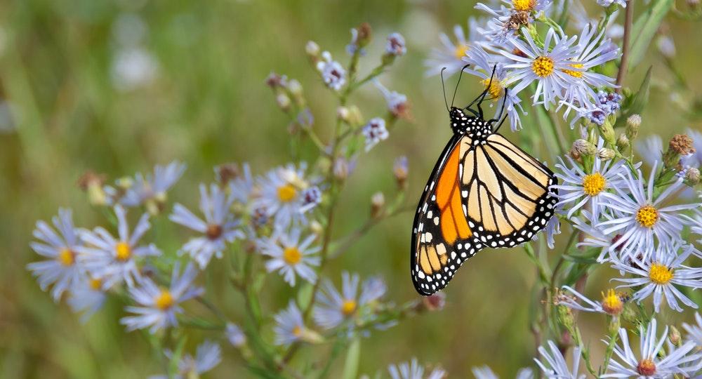Orange monarch butterfly sitting on purple flowers in the grass.