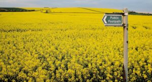 Yellow field with a sign for a public footpath.